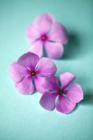 ピンク色の花