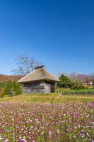 鳥取県 コスモスと茅葺小屋と大山