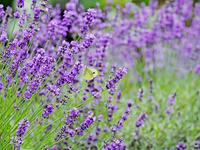 北海道のラベンダーの花と蜜を吸うモンシロチョウ