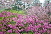 青森県 十和田市 蔦温泉 小雨に煙るムラサキヤシオと桜