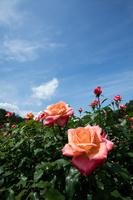 オレンジのバラの花
