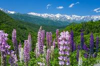 長野県 ルピナスと白馬三山