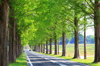滋賀県 高島市 メタセコイアの道