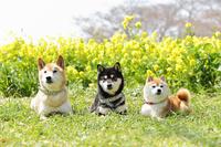 菜の花と柴犬