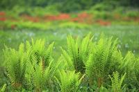 秋田県 鳥海山麓 桑の木台湿原
