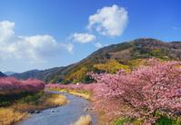 静岡県 河津町 かわづいでゆ橋から望む河津川上流方向の河津桜