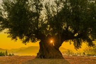 香川県 朝の千年オリーブの大樹