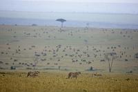ケニア マサイマラ チーター