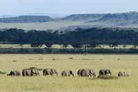 ケニア アフリカゾウの群れ