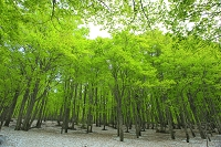 青森県 新緑のブナ林と残雪