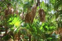 東京都 小笠原諸島 父島 固有種オガサワラビロウの森