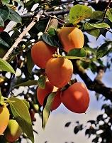 山梨県 百貫柿
