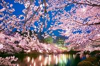 新潟県 上越市 高田公園の夜桜