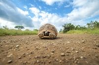 南アフリカ共和国 リクガメ