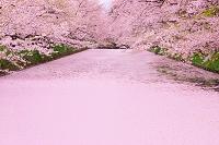 青森県 弘前公園 花筏