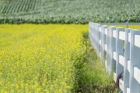 カラシナの群落と白い柵
