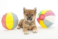 シバ 紙風船と仔犬