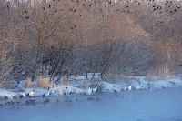 北海道 ねぐらを飛び立つ体勢 タンチョウとカラス