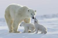 白熊の親子