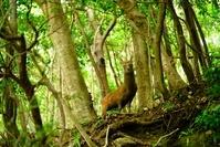 鹿児島県 屋久島の鹿