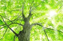 北海道 新緑のシナノキと日差し