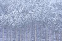 京都府 雪降る北山杉の樹林