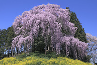 福島県 合戦場のしだれ桜と菜の花