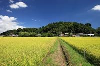 多古米 千葉県ブランド米