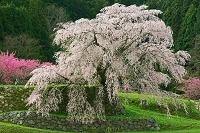 奈良県 又兵衛桜とハナモモ