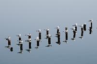 千葉県 ユリカモメの群