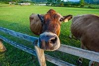 岡山県 ジャージー牛