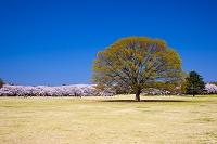 東京都 昭和記念公園 桜