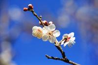 梅の花 白梅