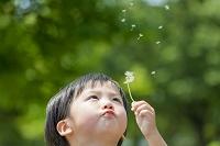 公園でタンポポの綿毛を吹く日本人の男の子