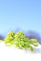 長野県 残雪から顔を出したフキノトウと青空