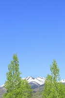 長野県 乗鞍高原 新緑の白樺と乗鞍岳