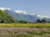 長野県 大町市 レンゲの花と後立山連峰 初夏