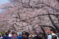 上野公園 桜通り