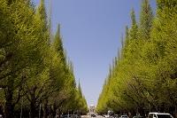 東京都 外苑銀杏並木