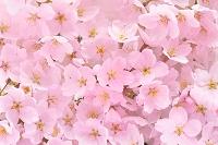 栃木県 桜咲く春の花