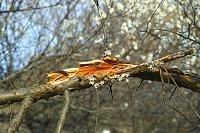 豪雪で折れた梅の枝