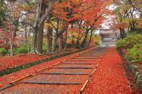 京都府 雨に濡れる参道の散り紅葉と勅使門