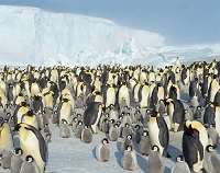 南極大陸 コウテイペンギンの群れ