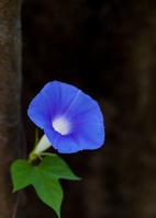 陰影を背にした一輪の青い朝顔