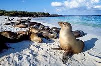 ガラパゴス諸島 アシカの群れ
