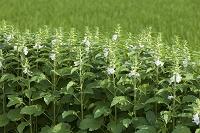 岡山県 白ごまの花