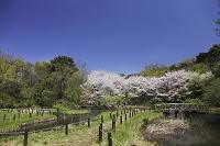 国立自然科学博物館 桜