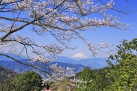 東京都 高尾山の桜と富士山