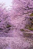 青森県 弘前市 弘前公園 桜