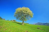 山梨県 朝の八ヶ岳牧場と一本木のズミ(コナシ)